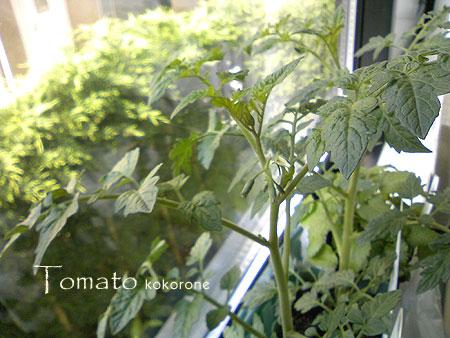 Tomato_120429