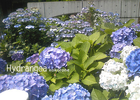 Hydrangea_120705